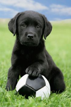 dog labrador football