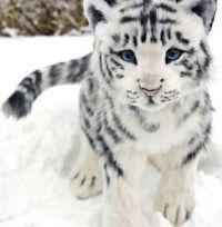 Rare White Baby Tiger