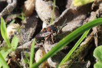 red-thighed epeolus - Epeolus cruciger (heideviltbij)