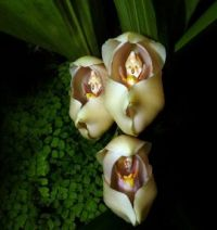 The amazing and aptly named Swaddled Baby Orchids, Anguloa Uniflora