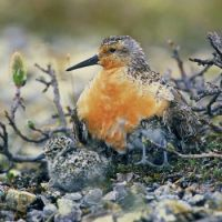 Red Knot parent and chicks near Hudson Bay, Canada