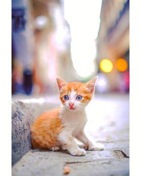 Cuba Kitten