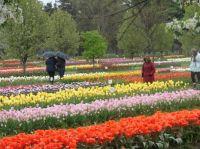 tulip days Holland Michigan