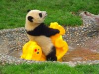 Panda Riding a plastic Horse