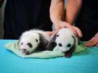 Baby Pandas in Atlanta, Ga Zoo