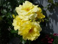 Moms yellow roses