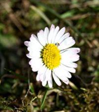 Sedmikráska - Daisy