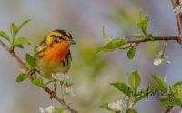 Blackburnian Warbler, Manitoba, Canada