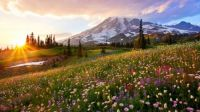 Blooming wildflower meadows in Mount Rainier National Park, Washington
