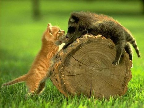 Kitty & Raccoon