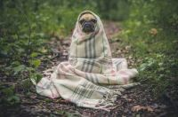 Pug In A Blanket!
