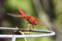 Dragonfly at a friend's house, Solana Beach, California