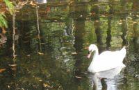 Swan at Homosassas State Park, Florida