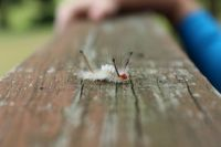 Tussock Moth Caterpillar 2
