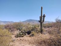 Saguarro cactus, Rincon Peak