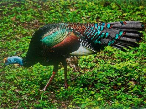 ocellated turkey!!!