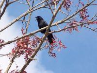 talking crow