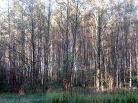 birches in autumn sunlight