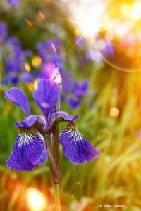 Daily dreams iris