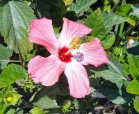 Simple Hibiscus