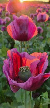 Opium :)
