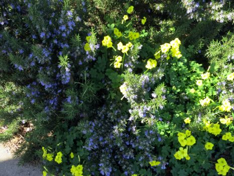 Oxalis and Rosemary