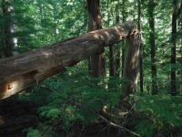 typical Old-growth forest's life cycle