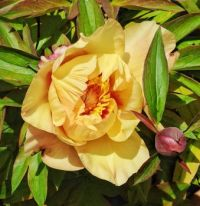 Itoh Peony Second Blossom of Spring