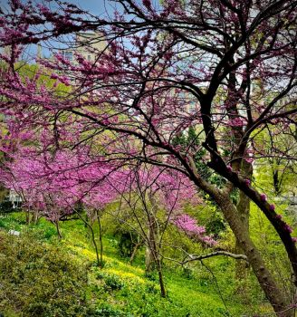 Redbud Trees, Central Park, NYC