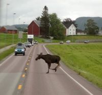 Moose on the loose, Norway 2015