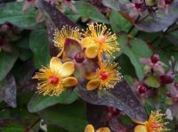 "Hypericum ""Miracle Favorite Night"""