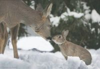 Bambi & Thumper do exist in Alberta Canada pic2