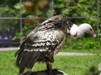 Vulture at Zoo