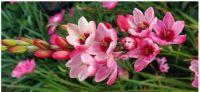 ~ Rosy Pink Ixia - Rose Emperor~