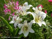 MORNING WALKS - White Lilies - 3