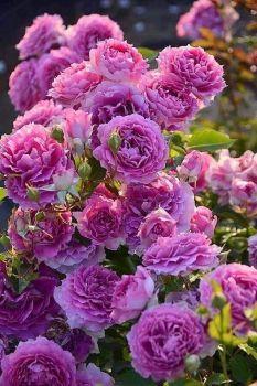 Růže Stolístky