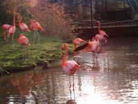"""Real"" Pink Flamingos"