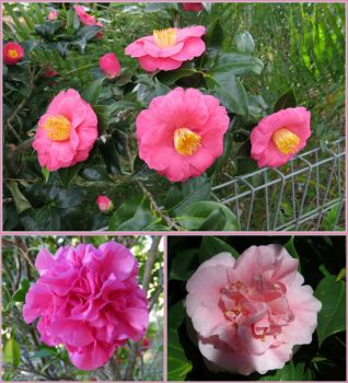 Camellias are blooming!
