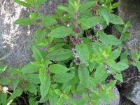 Mint (Mentha arvensis)