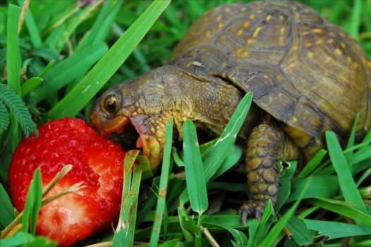 turtle with his strawberry