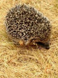 baby hedgehogR