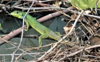 green lizard : Lacerta trilineata