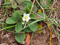 Wild strawberry plants blooming in October!!