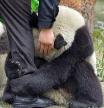 Terrified Panda hugging police officers leg after an earthquake.