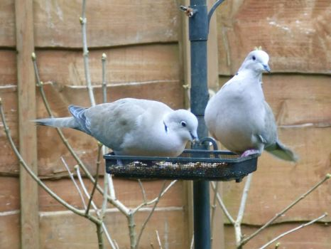 Collared doves at the feeder.