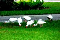 Beautiful white ibis, Sarasota, FL