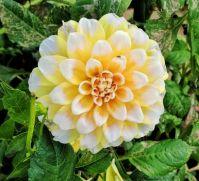 Bold Dahlia Blossom