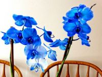 Blue Beauty Orchid