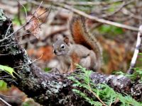 American red squirrel, I believe