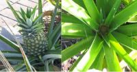 pineapple crop 21